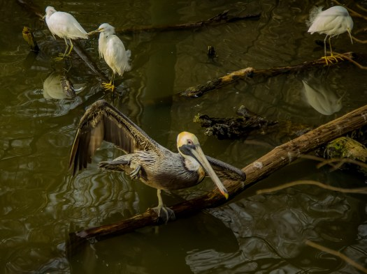 pelicanyoga